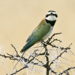 White-throated bee eater (Merops albicollis)