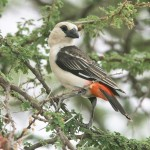 White-headed Buffalo-Weaver (Dinemellia dinemellia)