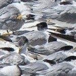 Greater crested terns, Boulders beach, Cape Peninsula, South Africa