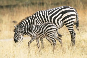 Mother and foal zebras