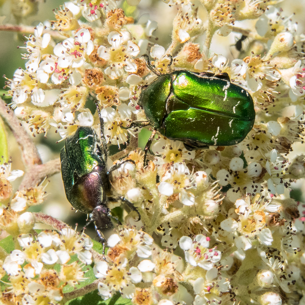 rose chafers-2