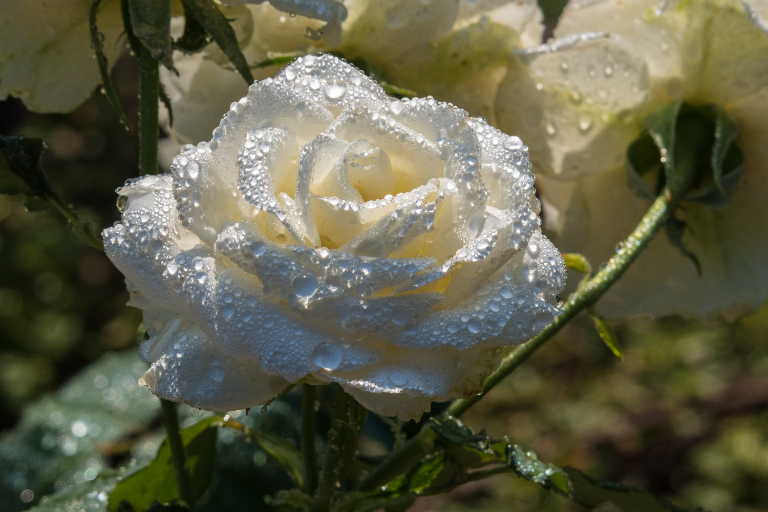 white rose with wtaer droplets